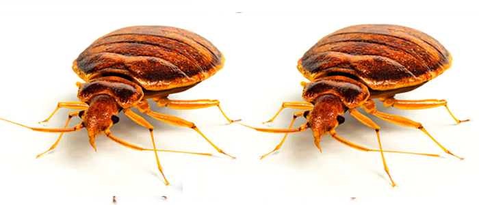 Bed Bug Control Tranmere